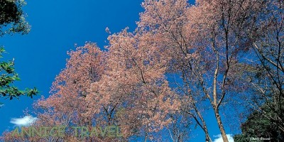 CherryBlossom